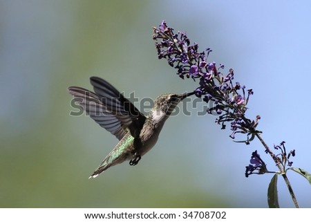 Hummingbird feeding on a Butterfly bush.