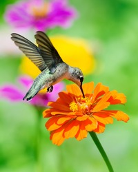 Hummingbird feeding on an orange zinnia with a colorful background.