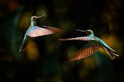Hummingbird fight. Great sapphirewing, Pterophanes cyanopterus, two big blue hummingbird with red flower, Yanacocha, Pichincha in Ecuador. Two bird sucking nectar from bloom. Wildlife jungle.