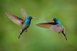 Hummingbird fight Green-backed Hillstar, Urochroa bougueri leucura, green blue hummingbird from San Isidro in Ecuador. Two birds fly fight in the tropic forest. Hummingbirds flight in nature habitat.