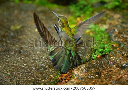 Hummingbird fight. Many-spotted hummingbird, Taphrospilus hypostictus, beautiful bird with crest, mating in the green tropic forest, Sumaco, Ecuador. Bird love.  Foto stock ©