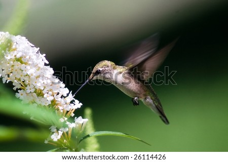 hummingbird finds a treat at a butterfly bush