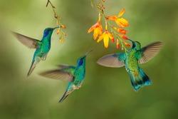 Hummingbird flight. Green Violet-ear, flock group shine birds. Colibri thalassinus, flying in the nature tropical wood habitat, red flower, Tapanti NP, Costa Rica. Wildlife scene from jungle.
