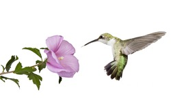 hummingbird floats backwards from a  pink rose of sharon flower; profile view; wings spread back; tail fluffed; white background