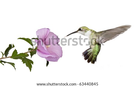 hummingbird floats backwards from a  pink rose of sharon flower; profile view; wings spread back; tail fluffed; white background - stock photo