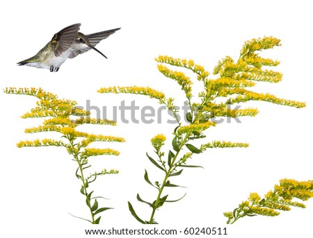 hummingbird floats over three stems of a golden rod flower; white background