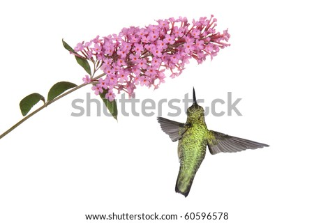 hummingbird floats under a pink butterfly bush; wings spread back view; white background