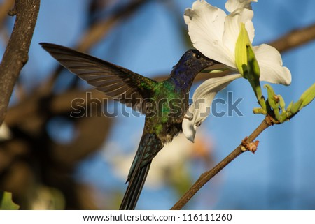 Hummingbird flying and catching a flower.