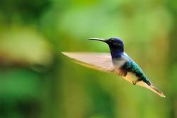 Hummingbird flying, Ecuador