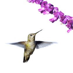 Hummingbird flying isolated on white.