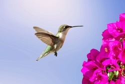 Hummingbird flying towards a flower with blue sky background