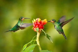 Hummingbird Green-crowned Brilliant, Heliodoxa jacula, green bird from Costa Rica flying next to beautiful red flower with clear background, habitat, action feeding scene. Two bird in the forest.