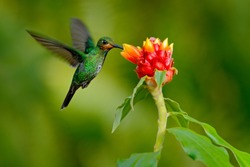 hummingbird Green-crowned Brilliant, Heliodoxa jacula, green bird from Costa Rica flying next to beautiful red flower with clear background.