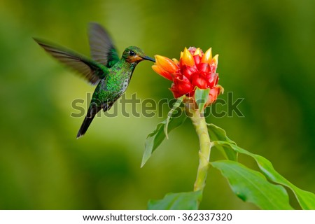 hummingbird Green-crowned Brilliant, Heliodoxa jacula, green bird from Costa Rica flying next to beautiful red flower with clear background. #362337320