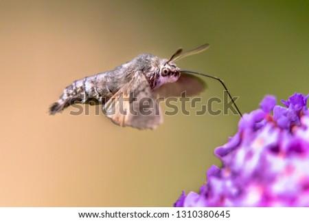 Hummingbird hawk-moth (Macroglossum stellatarum) fast flying butterfly feeding on purple flowers in summer month of july