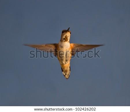 Hummingbird hovering in mid air