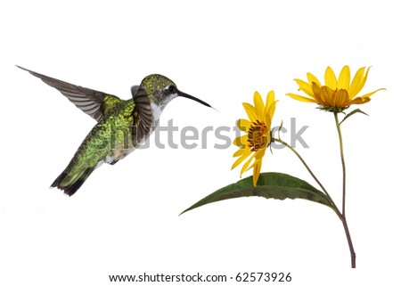 hummingbird hovers near a sunflower as it prepares to eat its fruits; white background