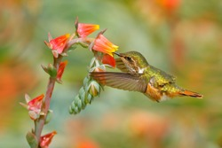 Hummingbird in blooming flowers. Scintillant Hummingbird, Selasphorus scintilla, tiny bird in the nature habitat. Smallest bird from Costa Rica flying next to beautiful orange flower, tropical forest.