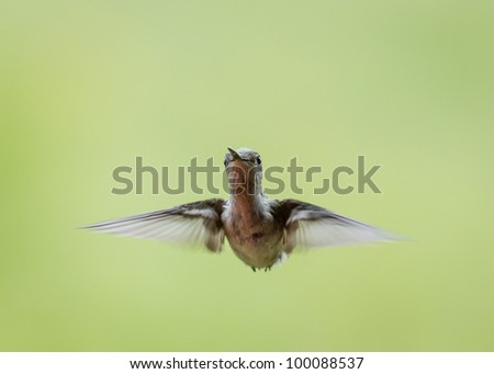 Hummingbird in flight looking eye to eye.