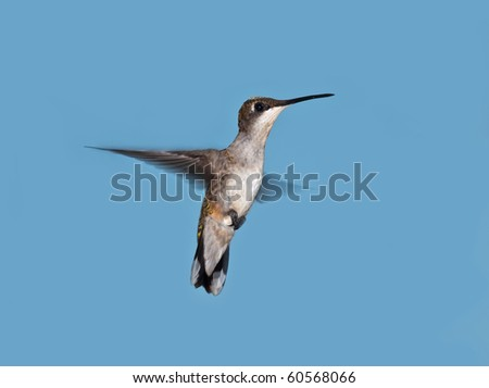 Hummingbird in flight with blue sky background