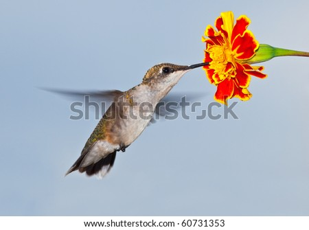Hummingbird in flight with flower and sky background