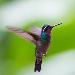 Hummingbird  in the fly, Costa rica