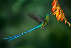 Hummingbird Long-tailed Sylph with long blue tail feeding on nectar from orange flower. Wildlife scene from wild nature. Beautiful bird from tropical forest.