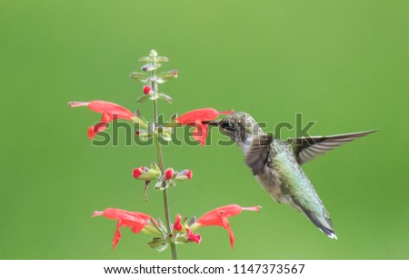 Hummingbird on Flower #1147373567