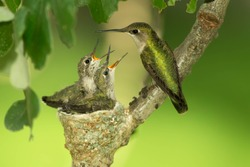 Hummingbird on nest,ruby throated hummingbird, female and two chicks, feeding, archilochus colubris, Agnieszka Bacal.