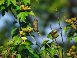 Hummingbird Perched on a Branch with Beak Open: A ruby-throated hummingbird sits on a branch with its beak open surrounded by leaves and flower blooms on a sunny summer day