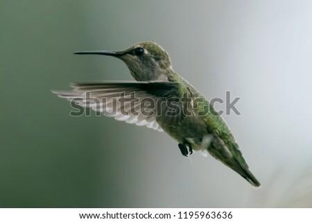 Hummingbird Photo Series