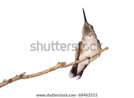 hummingbird scratches itself while perched on a branch, white background