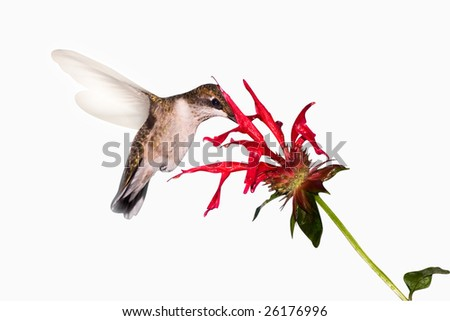 hummingbird searches the inside of a flower for food
