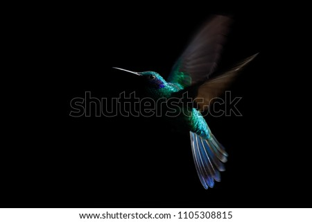 Hummingbird, sparkling violetear (Colibri coruscans) in flight. Low-key bird portrait. Bird in flight. Low light. Hovering, black background, Colombia, beautiful green bird in flight, nature scene