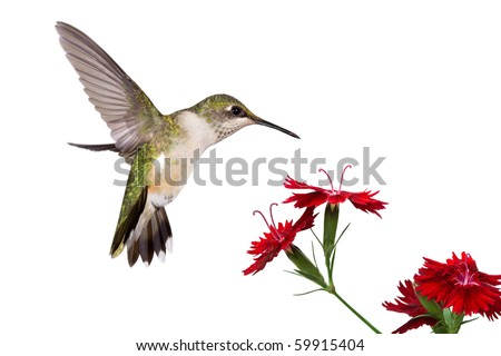 hummingbird spreads her tail over three red dianthus; white background