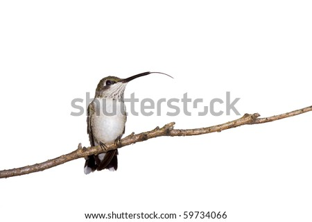 hummingbird sticks her tongue out while perched on a branch; white background