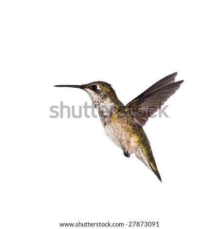 hummingbird stopped in motion on a white background - stock photo