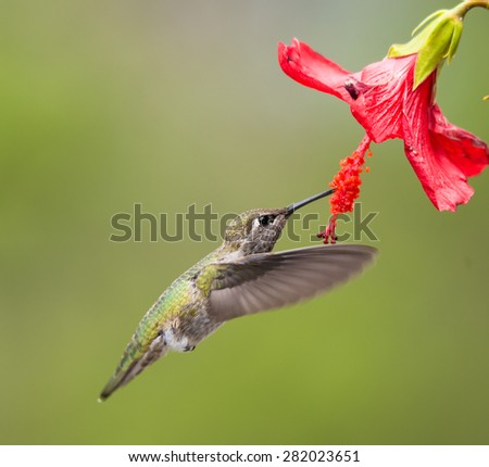 Hummingbird taken at during mid-flight ,humming, eating nectar #282023651