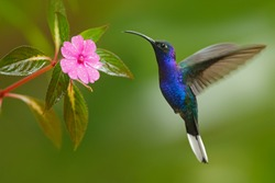 Hummingbird Violet Sabrewing flying next to beautiful pink flower in tropical forest.