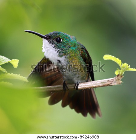 Hummingbird White-chested Emerald (Amazilia brevirostris) - Asa Wright Nature Centre, Trinidad
