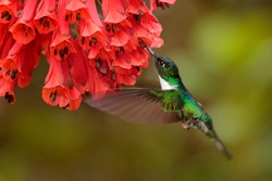 Hummingbird with big red flower. Collared Inca, Coeligena torquata, dark green black and white hummingbird flying next to beautiful orange flower, Colombia. Wildlife scene from nature. Female of inca.
