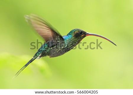 Shutterstock Hummingbird with long beak, Green Hermit, Phaethornis guy, clear light green background, Costa Rica. Wildlife scene from nature.