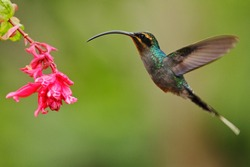 Hummingbird with long beak, Green Hermit, Phaethornis guy with clear light green background, action scene in the nature habitat with nice pink flower bloom, Panama.