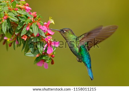 Hummingbird with pink flower. Fiery-throated Hummingbird, flying next to beautiful bloom, Costa Rica. Action wildlife scene from tropic nature. Bird in fly, sunny day. #1158011215