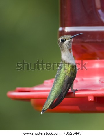 Hummingbird with red dot on throat drinking from feeder