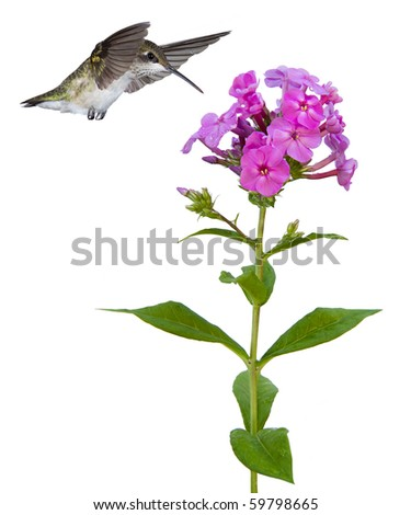 hummingbird with wings over head and beak floats ovef a pink phlox; white background