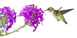 hummingbirds drinks nectar from a purple verbena; white background