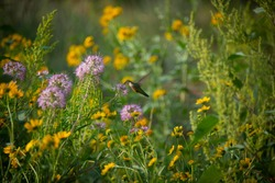 Hummingbirds flying through a meadow at the Garden of the Gods.