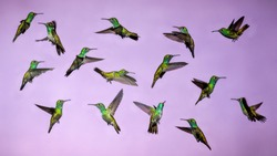 Hummingbirds in Flight - Collage of several Versicolored Emerald Hummingbird Isolated  from Background