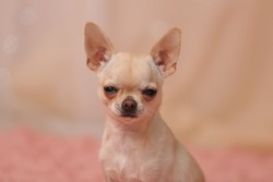 humor. funny faces of chihuahua dogs